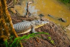 Крокодилы на ферме крокодила sarawak граничат Малайзия Стоковое Изображение