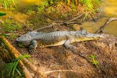 Крокодилы на ферме крокодила sarawak граничат Малайзия Стоковые Фотографии RF