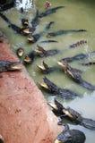 крокодилы Стоковые Фотографии RF