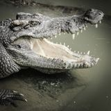 крокодилы стоковая фотография rf
