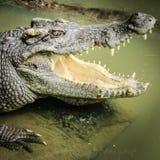 крокодилы стоковая фотография
