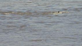 Крокодил атакует и тонет молодое скрещивание зебры река mara в национальном парке mara masai акции видеоматериалы