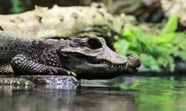 Крокодил взгляда Close-up Стоковое Изображение