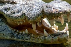 Крокодил в национальном парке Кении, Африки стоковое изображение rf