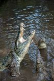 Крокодил в национальном парке Кении, Африки стоковая фотография rf