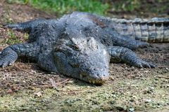 Крокодил в национальном парке Кении, Африки стоковое изображение