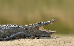 Крокодил в реке, выравнивая желтое солнце, национальный парк Yalla, Стоковое Изображение RF
