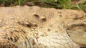 Крокодил в траве сток-видео