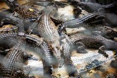 Крокодил в ферме стоковые фотографии rf