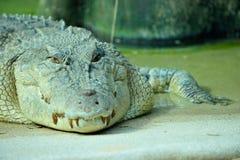 крокодил голодный Стоковое Изображение