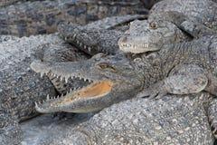 крокодил голодный Стоковое Фото