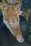 Крокодил заплывания стоковые изображения rf