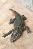 крокодил малый стоковое изображение rf