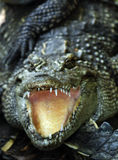 крокодил нападения Стоковая Фотография