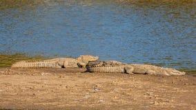 Крокодил 2 на запасе тигра Sariska, Индии Стоковые Изображения RF