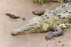 Крокодил на пляже Стоковое Изображение RF