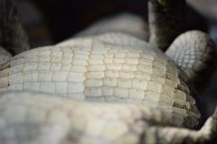 Крокодил на своей задней части стоковые фотографии rf