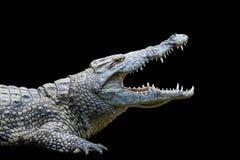 Крокодил на черной предпосылке стоковая фотография rf