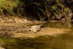 Крокодил Нила африканца на отмели стоковое изображение rf
