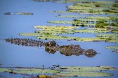 Крокодил Нила в национальном парке Kruger, Южной Африке стоковые фотографии rf