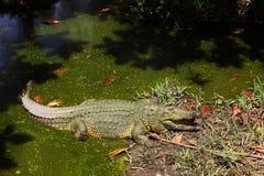 Крокодил Нила отдыхая в солнце стоковая фотография rf