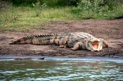 Крокодил Нила Стоковые Фото