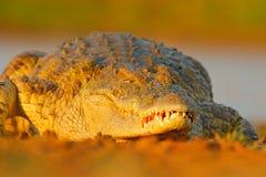 Крокодил Нила, niloticus крокодила, с открытым намордником, в речном береге, перепад Okavango, Moremi, Ботсвана Сцена живой приро стоковая фотография rf
