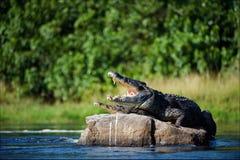 крокодил Нил стоковое фото rf