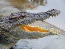 крокодил Нил Стоковые Фотографии RF