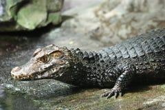 крокодил Нил стоковые фото