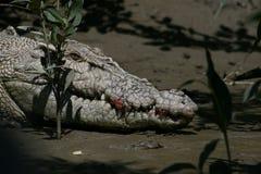 крокодил одичалый Стоковые Фотографии RF