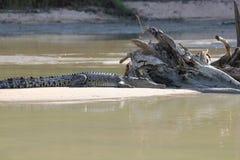 Крокодил около воды Стоковые Фото