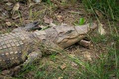 Крокодил отдыхая на траве в джунглях Стоковые Изображения