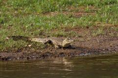 крокодил Сенегал Стоковые Изображения