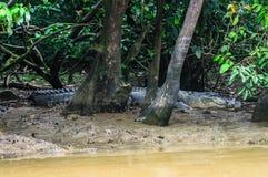 Крокодил скрываясь на банках грязи реки Kinabatangan Bo Стоковые Фотографии RF