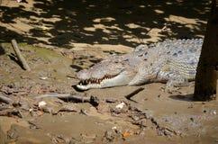 Крокодил соленой воды на речном береге стоковые изображения rf