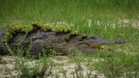 Крокодил с травой на своем теле стоковое фото
