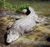 крокодил Танзания Стоковые Фото