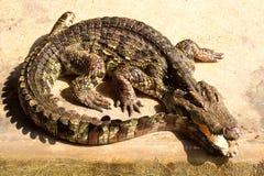 крокодил Стоковое фото RF