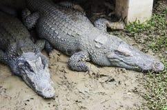 Крокодил 2 Стоковая Фотография RF