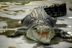 крокодил стоковые фото