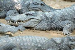 крокодил Стоковые Изображения