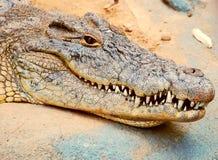 крокодил Стоковые Фотографии RF