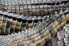 крокодил backgroun Стоковая Фотография