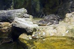 крокодил gavial Стоковое Изображение RF