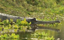 крокодил gharial Стоковые Изображения RF