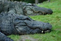 крокодилы Стоковые Изображения
