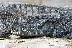 крокодил Нил Стоковое Фото