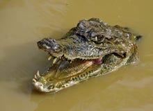 Крокодил Амазонки стоковые изображения