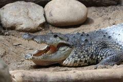 Крокодил, аллигатор, дикое животное, природа Стоковые Фото